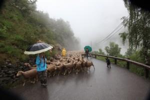 2014, les brebis ne montent pas volontiers sous la pluie