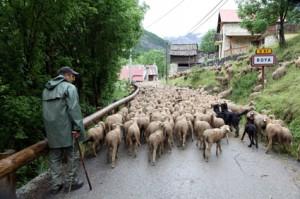 2014, l'arrivée du troupeau à Roya
