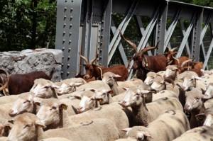 2014, les chèvres et boucs descendent aussi