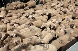 2014, une marée de laine