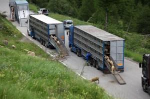 2014, les brebis descendent des camions
