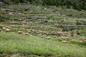 2014, le troupeau sur les pentes