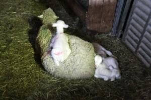 2014, les agneaux chez Jean-Pierre Thimoléon à la bergerie de la Barrière (Montauroux)