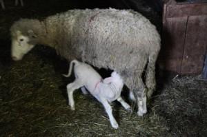 2014, brebis et son agneau chez Jean-Pierre Thimoléon à la bergerie de la Barrière (Montauroux)