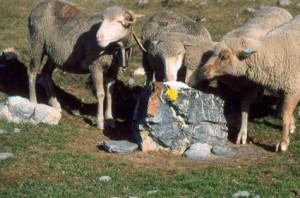 2002, les brebis aux assalès de l'Estrop (Péone)