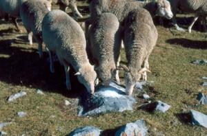 brebis métis berger élevage