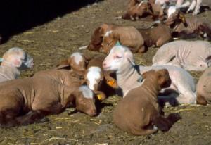 agneaux Péone