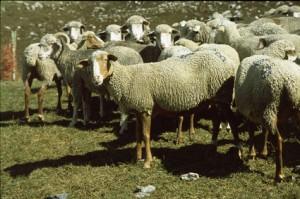 brebis mourerous Péone berger élevage