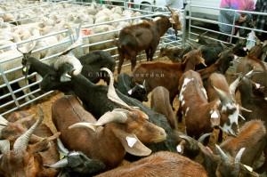 Foire de la St-Michel, Barcelonnette, 2012. Les chèvres du Rôves