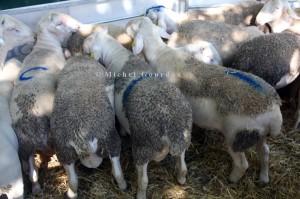 Foire aux agnelles et aux béliers de Thoard (04), 2013