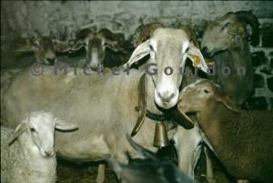 brebis brigasque avec son agneau (2007)