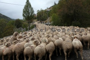 le troupeau s'étire sur la route de Fours (2013)