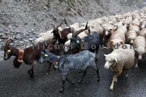 boucs, chèvres et brebis sous la pluie (2013)