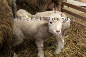agneaux de Maurice Roux