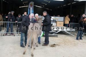 Prises des mensurations pour le concours des ânes de Provence