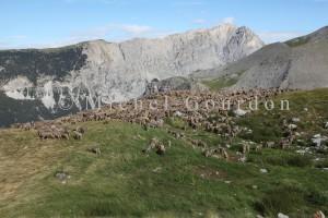 Estrop de Péone, troupeau aux pierres à sel 2010 IMG_0485